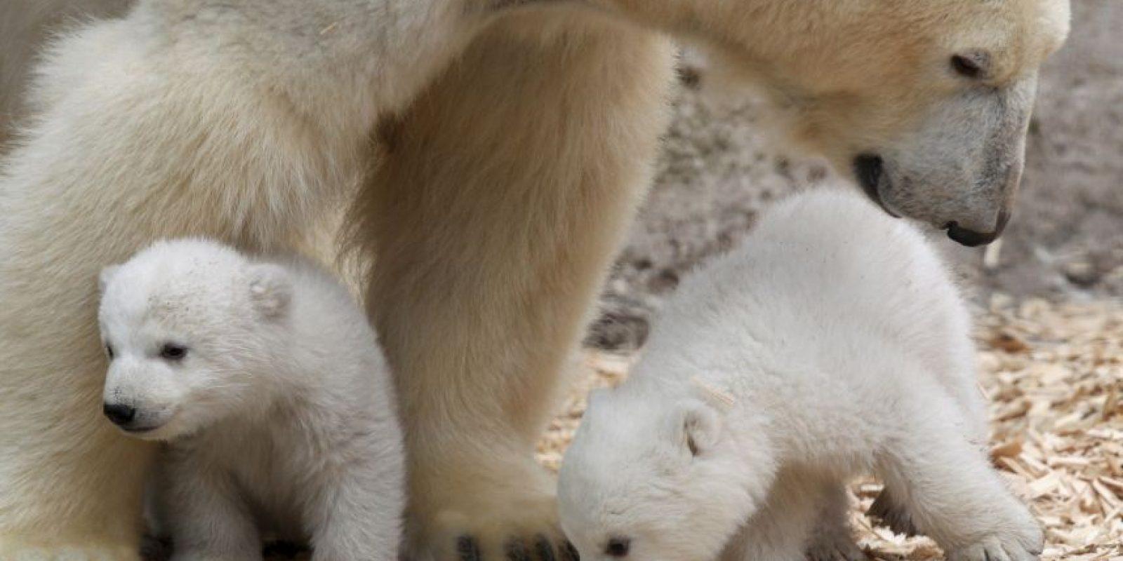 13. El oso polar podría convertirse en el primer mamífero que pierda el 100% de su hábitat a causa del calentamiento global, según NRDC. Foto:Getty