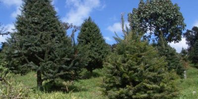 A la venta 10 mil árboles de pinabete