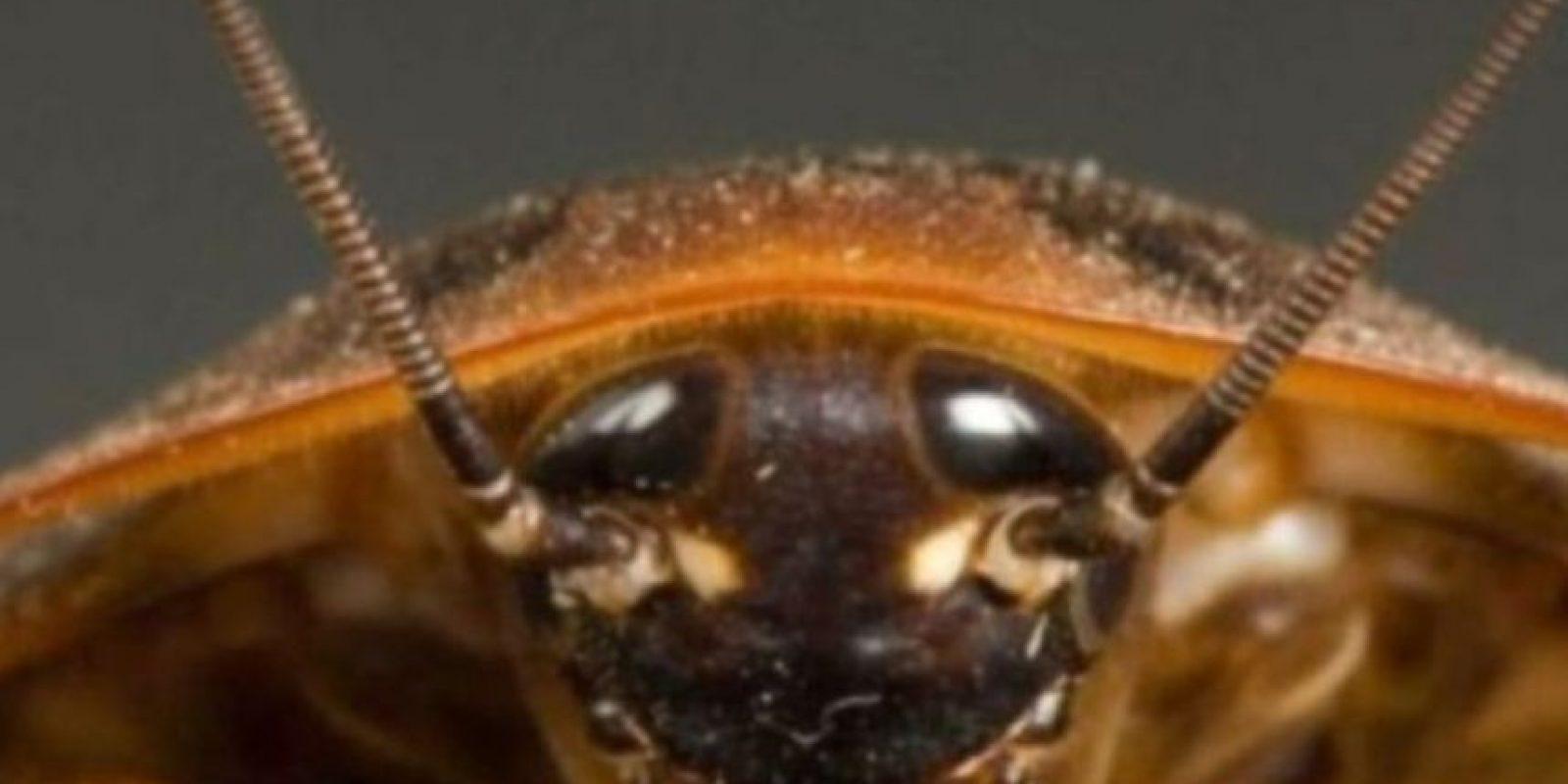 Viven en los oídos. Foto:Wikipedia