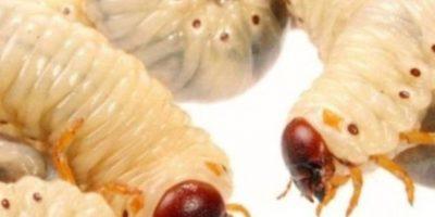 Larvas. Foto:Wikipedia