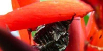 Escarabajos: Viven dentro de los oídos humanos. Foto:Wikipedia