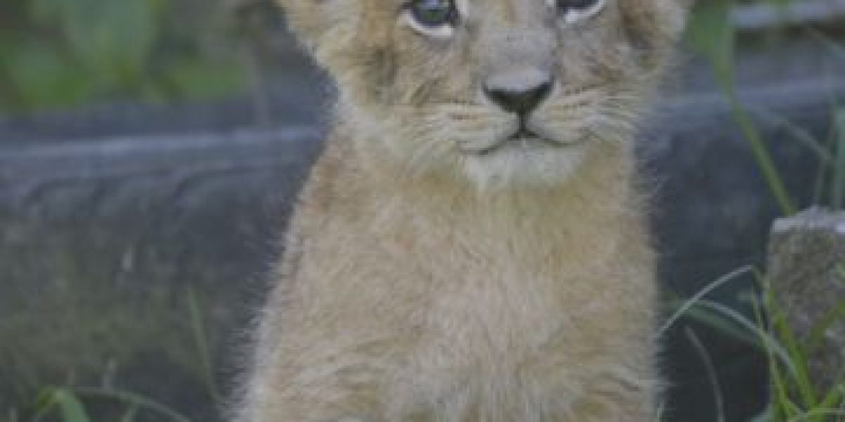 GALERÍA. Este día podrás conocer a los tiernos cachorros de león