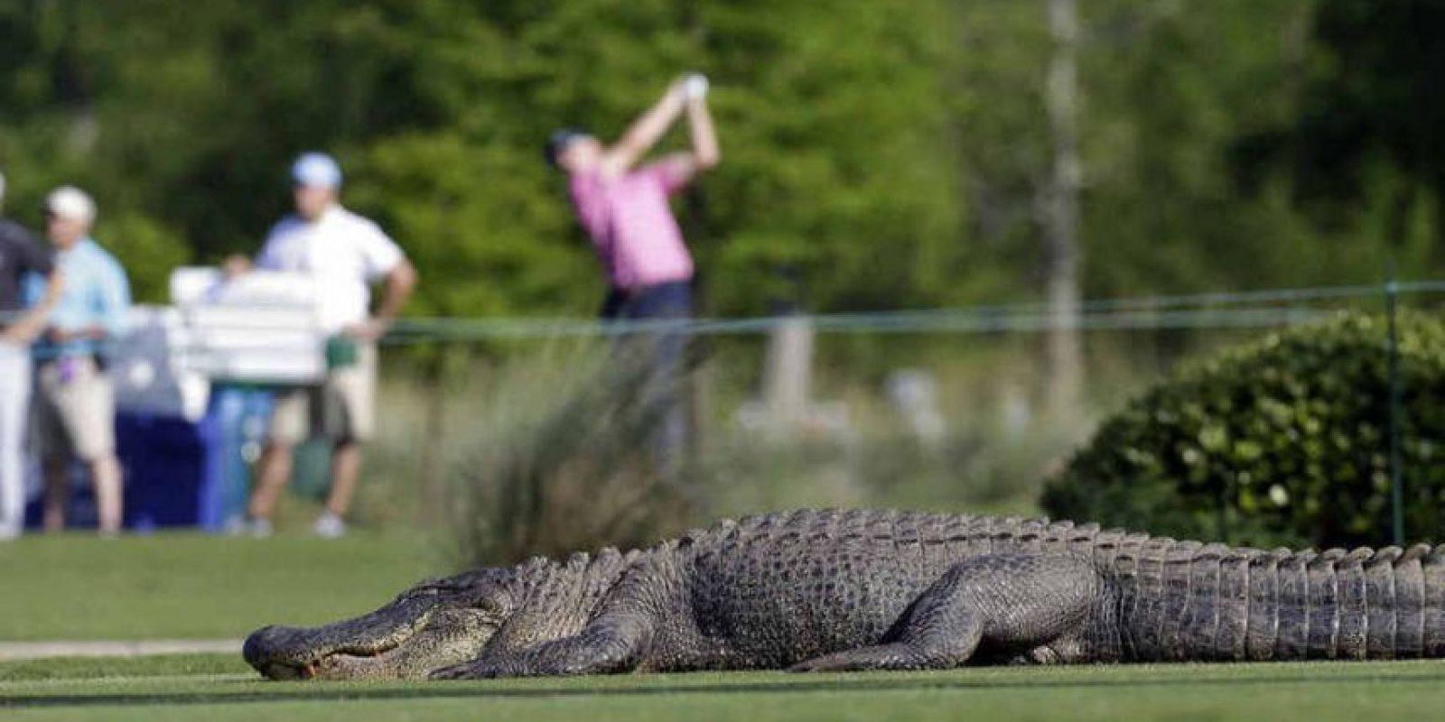 El réptil atacó a Van der Sandt cuando buscaba bolas de golf en el lago. Foto:Agencias