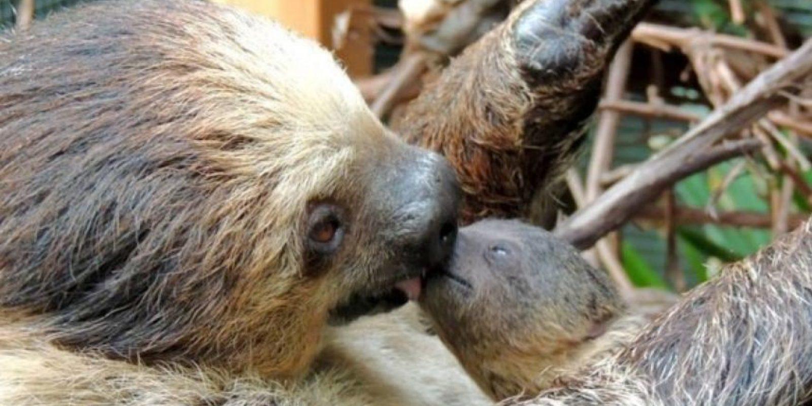 Este perezoso y su madre. Foto:Zoológico de Franklin Park