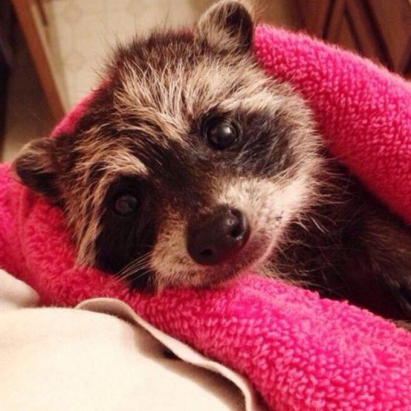 ¿ O este mapache? Foto:Imgur