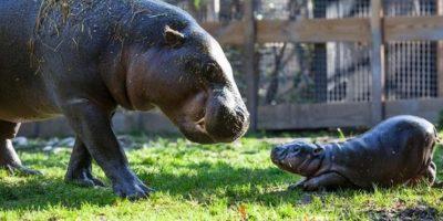 Este hipopótamo jugando con su madre Foto:ParkenZoo