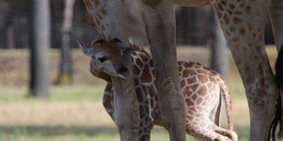 Este curioso bebé jirafa Foto:Zoológico de Taronga Western Plains