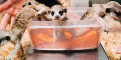 Estos suricatos saliendo del recipiente Foto:Imgur