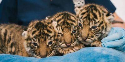 Este adorable trío Foto:Zoológico de Chester