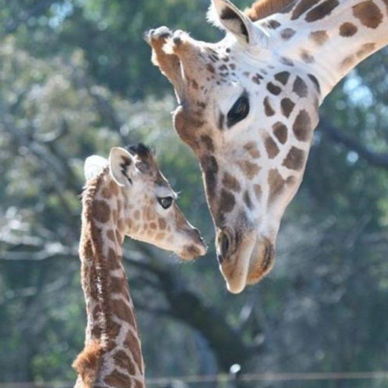 Este bebé jirafa y su madre Foto:Zoológico Taronga