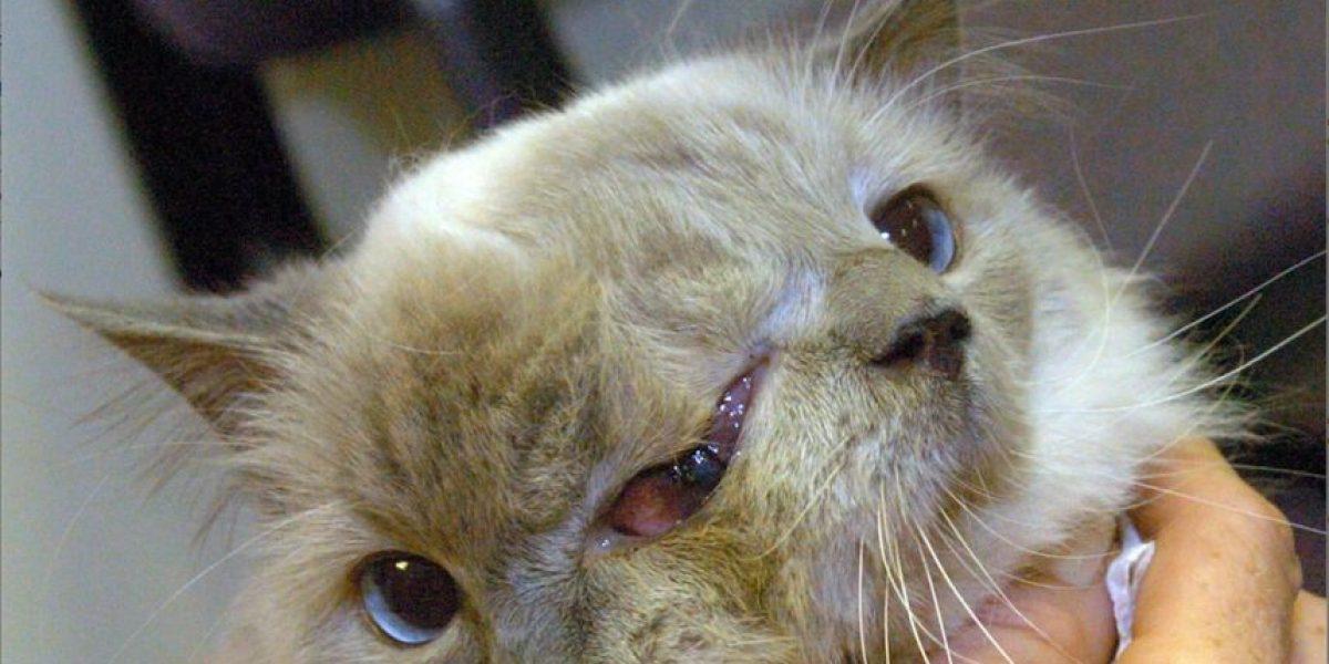 Muere gato de dos caras, poseedor de un récord Guinness