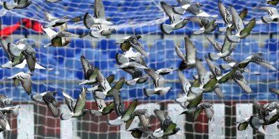 Una parvada de palomas cruzó el estadio antes del inicio del partido. en el estadio Luigi Ferraris. Foto:AFP