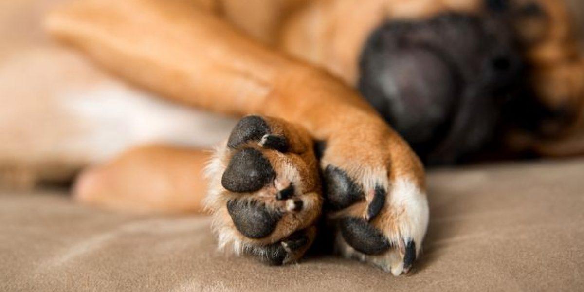 Perú: Detienen a italiano que escondía droga en las entrañas de dos perros