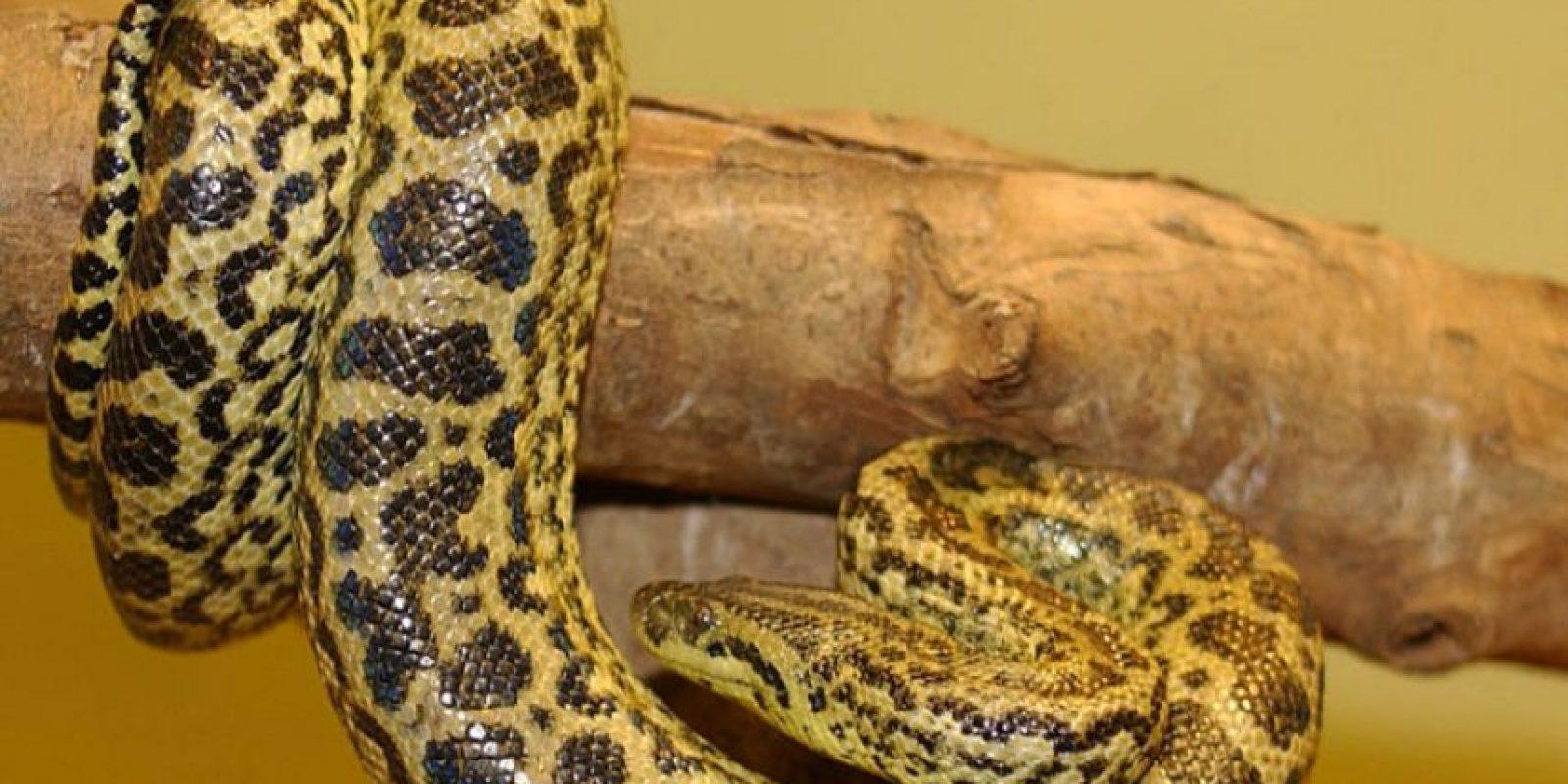 La anaconda amarilla. Se distribuye en el este de Bolivia, Paraguay, oeste de Brasil, nordeste de Argentina. habitualmente alcanza longitudes de entre 2,5 y 4 metros y un peso que puede superar los 40 kilogramos Foto:Wikicommons