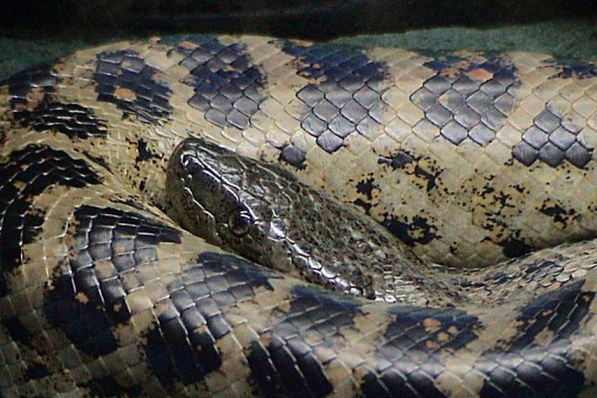 Es endémica del norte de América del Sur, en el nordeste de Brasil. El ejemplar más largo registrado alcanzó los 3 metros Foto:Wikicommons