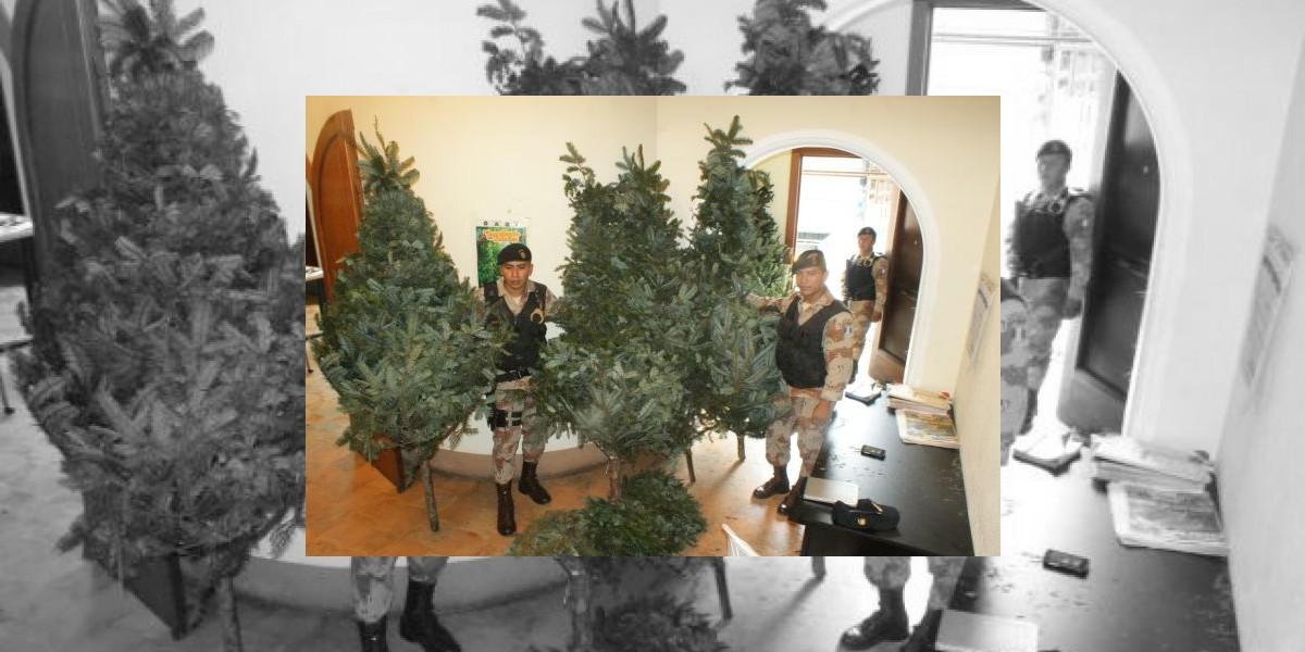 Policía decomisa cinco árboles de pinabete