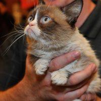 Grumpy Cat obtuvo 100 millones de dólares en dos años. Foto:Getty Images