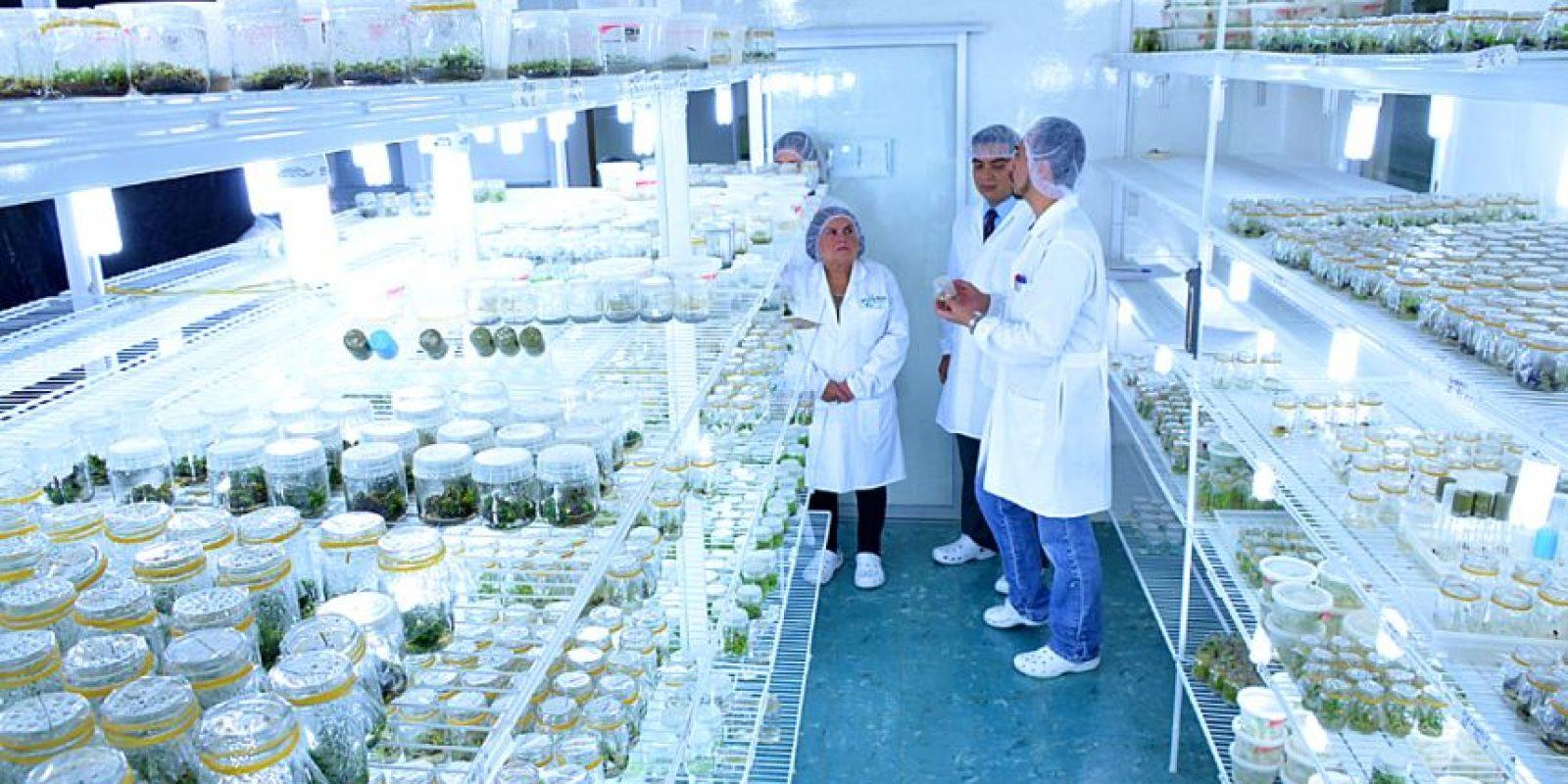 La flor crece en un laboratorio. Foto:Conap