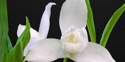 La Monja Blanca crece en un laboratorio. Foto:Publinews