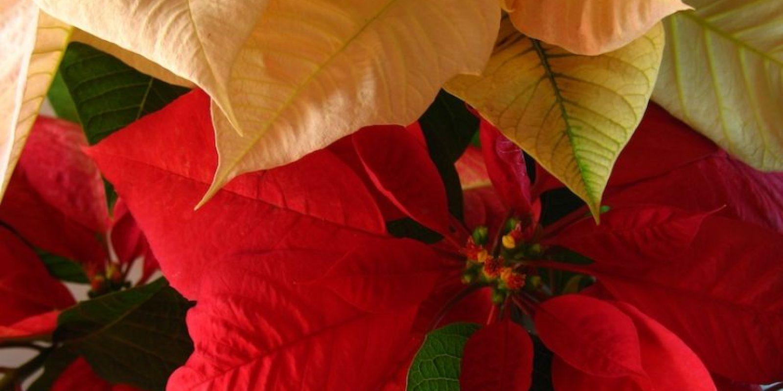 El nombre científico de Euphorbia pulcherrima que pertenece a la familia de las Euforbiaceae. Foto:Publinews