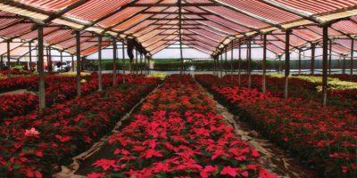 El precio de estas plantas oscila entre 18 y 25 quetzales. Foto:Publinews