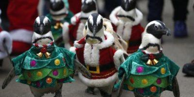Marcha de la Navidad realizada por pingüinos Foto:Lapatilla