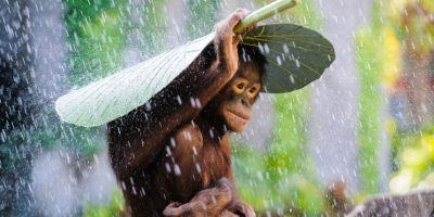 Orangután en la lluvia Foto:Agencias