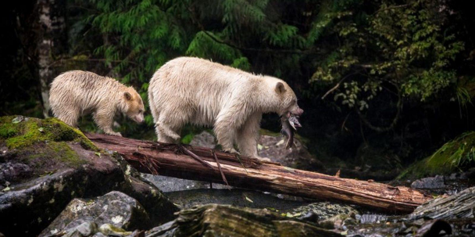 """La madre y su cachorro son """"osos del espíritu"""" u osos Kermode, una subespecie del Oso Negro Norteamericano que vive en las regiones de la costa central y norte de British Colombia, Canadá Foto:Agencias"""