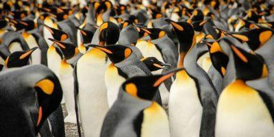 Los pingüinos rey viven en grandes colonias en South Georgia, una isla al sur del Océano Atlántico y justo debajo de la convergencia antártica. Foto:Agencias