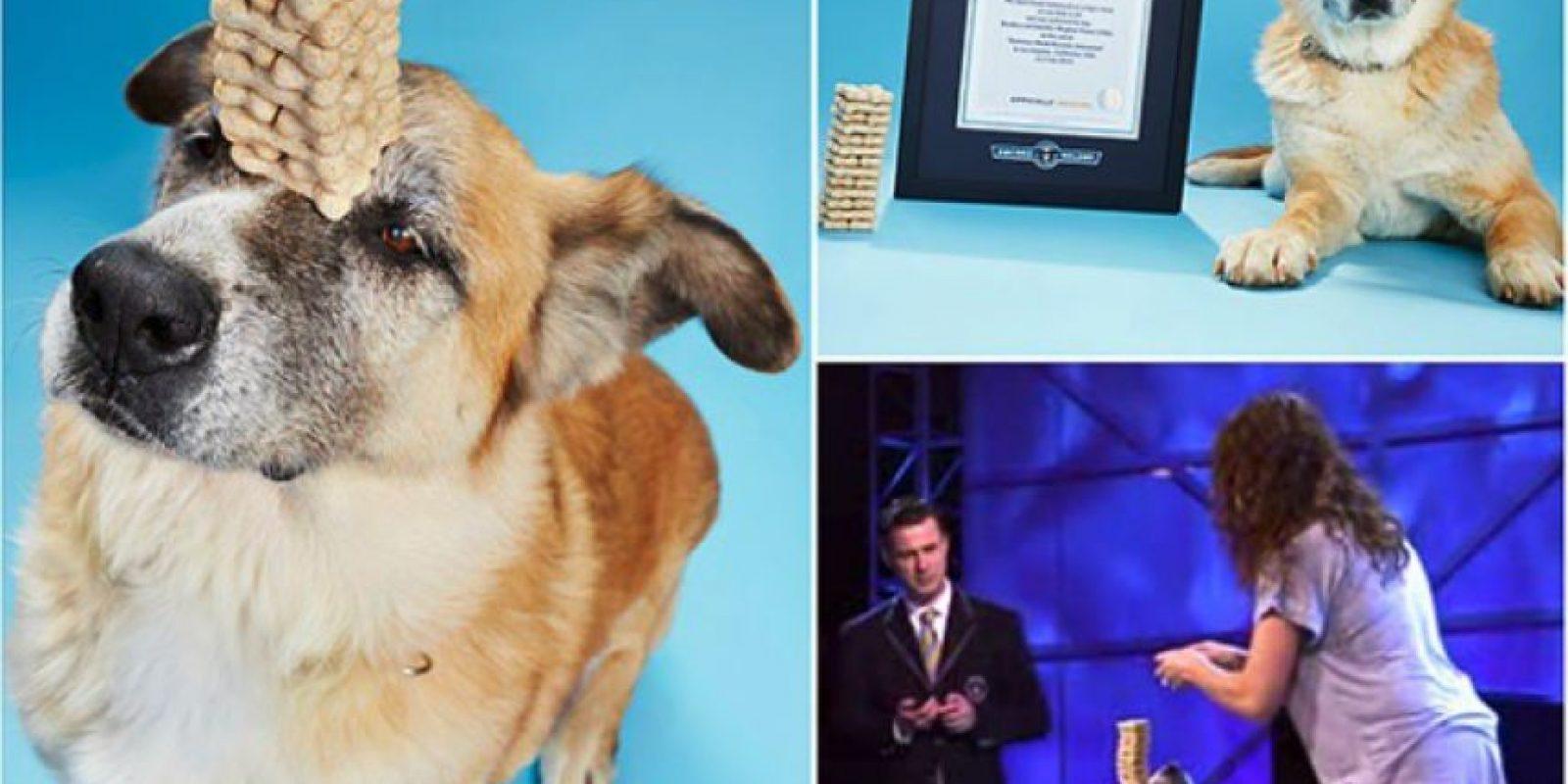 Este perro puede balancear una torre de galletas con su nariz Foto:Instagram/guinnessworldrecords