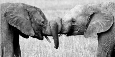 Amor entre elefantes Foto:Tumblr.com/tagged-elefantes