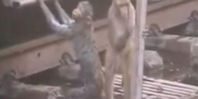 VIDEO: ¡Increíble! Mono salva a otro mono de morir