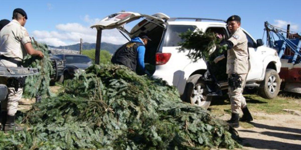 Autoridades han decomisado 29 mil ramillas de pinabete