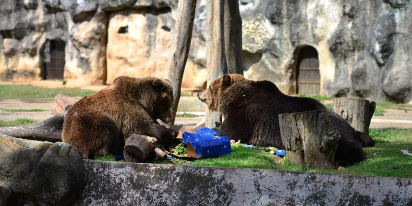 Los osos se alimentaron con carne. Foto:Oliver de Ros