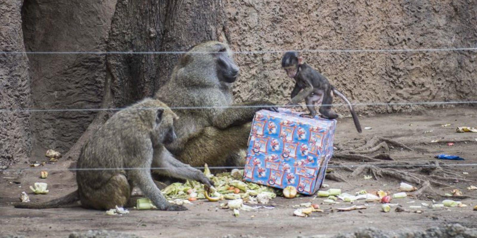 Los regalos para los monos. Foto:Oliver de Ros