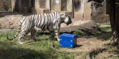 Carne le dieron a los tigres. Foto:Oliver de Ros