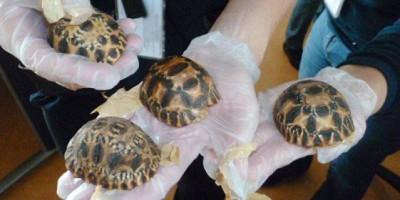 Decomisan en Francia 170 bebés de tortuga estrellada de Madagascar