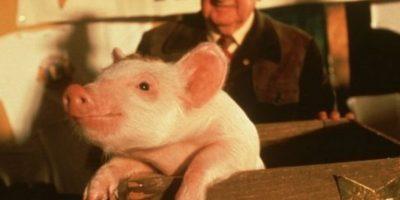 """Babe de la película """"Babe"""" 1995 Foto:IMDB"""