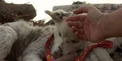 Video: ¡Gran cambio! Este hombre salvó a una perrita husky moribunda