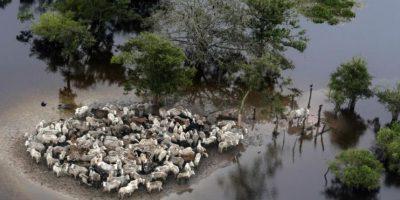 Vista aérea del ganado varado en una zona inundada de la provincia de Ballivián, Bolivia, el 8 de febrero. Foto:Publinews