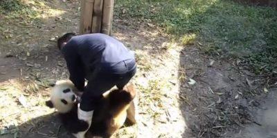 El cuidador insistía en que lo dejara salir Foto:Vía Youtube: iPandaChannel
