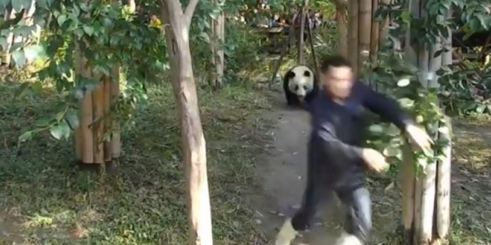 Así impedía este panda salir a su cuidador Foto:Vía Youtube: iPandaChannel