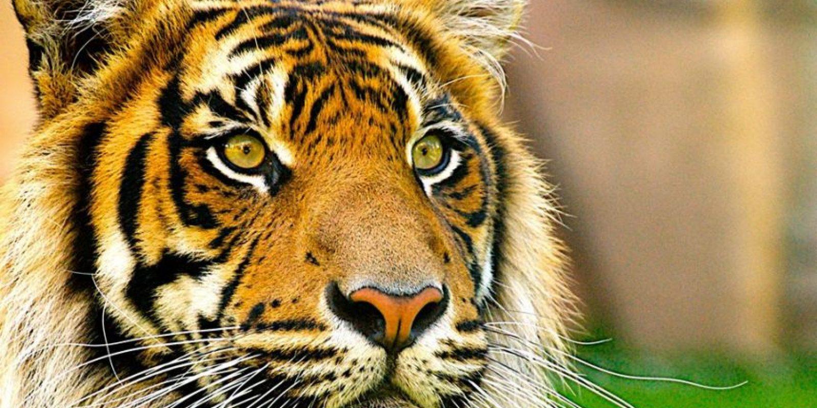 ¿Por qué una selfie podría arruinar la vida de un animal salvaje como un tigre? Foto:Facebook/World Animal Protection