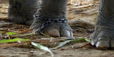 Y son esclavizados para servir al humano Foto:Facebook/World Animal Protection