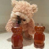 Nada más tierno que ver a un oso comiendo miel. Foto:Vía Instagram: @Munchkin the Shih Tzu
