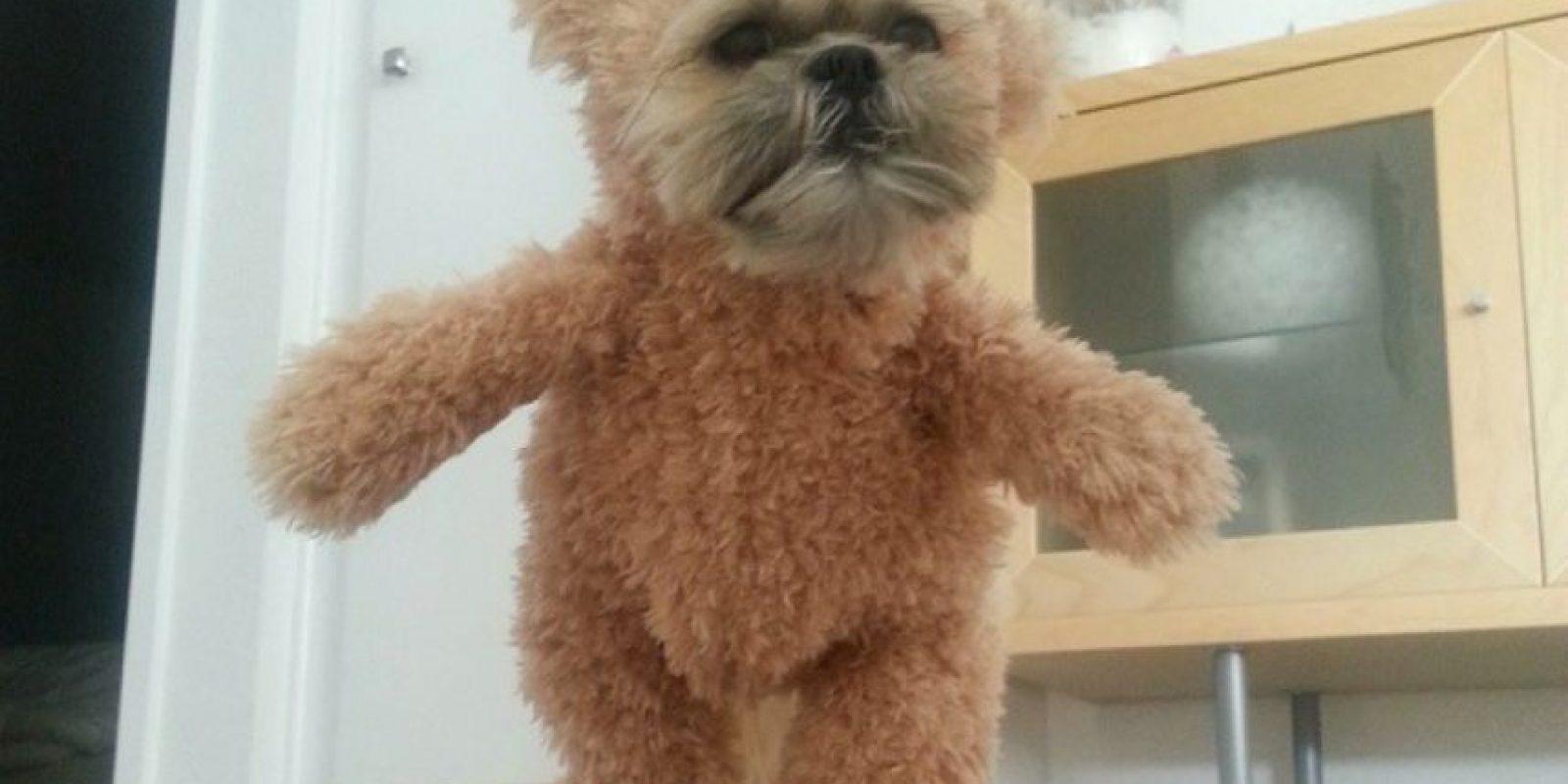 Más que un perrio, este Shih Tzu es un lindo oso. Foto:Vía Instagram: @Munchkin the Shih Tzu