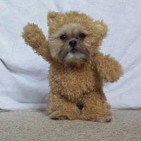 Es de raza Shih Tzu. Sin embargo su vestuario le otorgó su verdadera apariencia de oso. Foto:Vía Instagram: @Munchkin the Shih Tzu