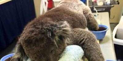 Koalas, los más afectados por los incendios en Australia