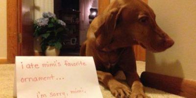 """""""Me comí el adorno favorito de mamá"""" Foto:DogShaming/Tumblr"""