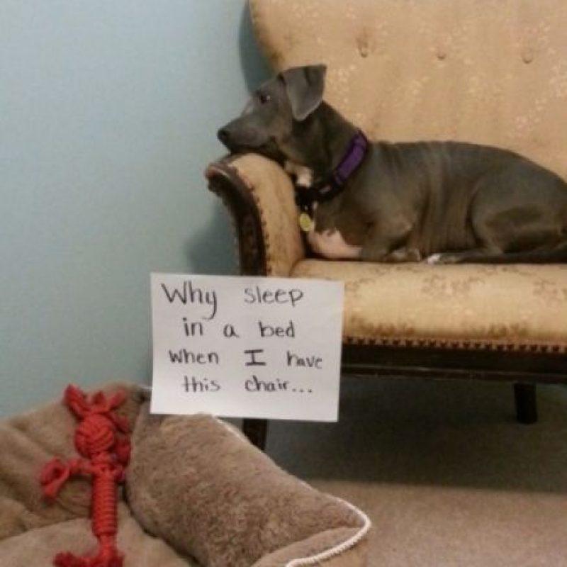 """""""Para qué dormir en la sala si tengo un sillón como este"""" Foto:DogShaming/Tumblr"""